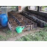 Продажа маточного поголовья технологических червей для биогумуса и для рыбалки