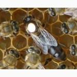 Продажа бджолопакетів карпатка