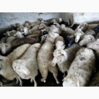 Куплю баранів/овець