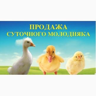 Продам Молодняк птиці (суточні та підрощені)