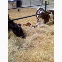 Продаю дойных коров