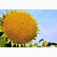 Семена подсолнечника ЕС ЯНИС( Евралис) под Евролайтнинг Плюс
