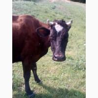 Продам коров на молоко срочно