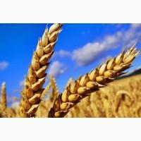 Куплю пшеницу. Оптовая закупка зерна