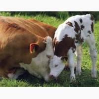 Куплю коров бичков, телят, коней на м`ясо
