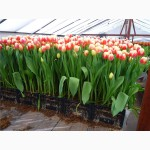 Продам тюльпаны оптом