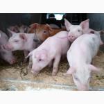 Комбикорм для свиней (30-65 кг.)