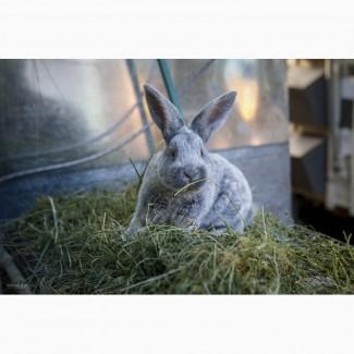 Продаются кролики на племя породы Большое Светлое Серебро (Евросеребро)