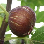 Продам Инжир для выращивание в саду