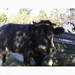Продам корову первістку