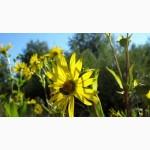 Продам семена сильфии пронзеннолистной (поздний летне-осенний медонос)