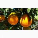 Апельсины оптом Турция