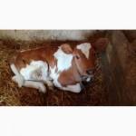 Продам молочних телят