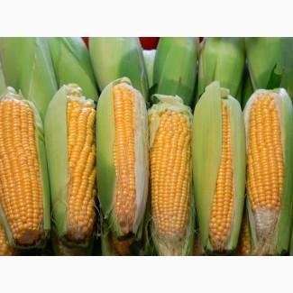 Крупно-оптовая закупка кукурузы.Качество ДСТУ 4525:2006