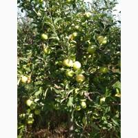 Продам яблоки сорта Муцу, Флорина, Лиголь, и др