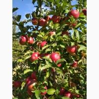 Продам яблоки сорта Муцу, Семеренко, Лиголь, и др