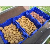 ... семенной картофель Ривьера, Бела Роса, Гранада, Пикассо и др. почтой ( картошка ...