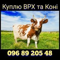 Куплю ВРХ та коні. Вінницькій, Хмельницькій, Київській, Черкаській та сусідніх областях