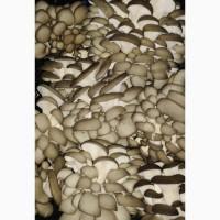Куплю грибы вешенки оптом, ищу поставщиков