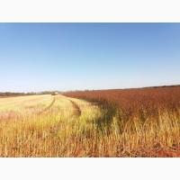Продам насіння гречихи Гренбі та Арно (Канада), Дикуль, Девятка