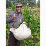 Семена табака Вирджиния
