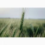 Закупка зерна оптом (любое качества)