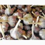 Озимый чеснок в головках ( луковицы/головки товарного чеснока )