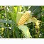 Семена кукурузы Тор (Seed Grain)