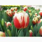 К 8 марта тюльпаны оптом