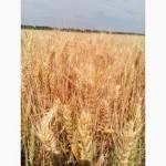 Пшеница озимая Миссия Одесская