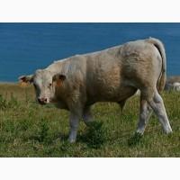Купуємо ВРХ ( бики корови кони телята) у населення и господарства