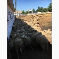Продам стадо овец мериносов 320 голов