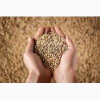 Закупаем пшеницу некондицию