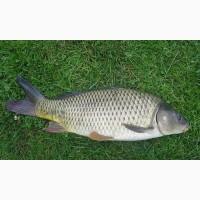 Продам живую рыбу: карп, толстолобик, щука, карась + Зарыбок