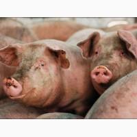 Продам домашних свиней Чугуевский район