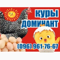 Цыплята кур несушек Доминант. Чехия Суточные и подрощенные