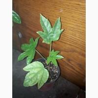 Фатсия молодое растение
