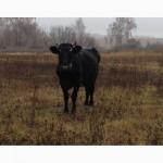 Продаю корову тільну