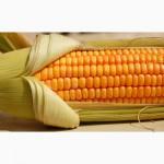 Семена кукурузы Любава, Солонянский, Днепровский, Оржица, Амарок и т.д