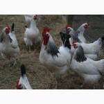 Півники підрощені, мясо- яєчноі породи Адлер сріблястий