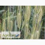 Семена озимой пшеницы – сорт Мидас, 1 репродукция