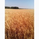 Пшеница озимая Пилиповка