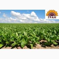 Пропонуємо насіння цукрового буряку Арій (НОВИНКА)