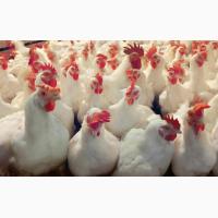 Купити Інкубаційні яйця курей несучок Ломан