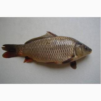 Живая рыба круглый год (Карп, Толстолобик, Карась, Сом, Белый амур)
