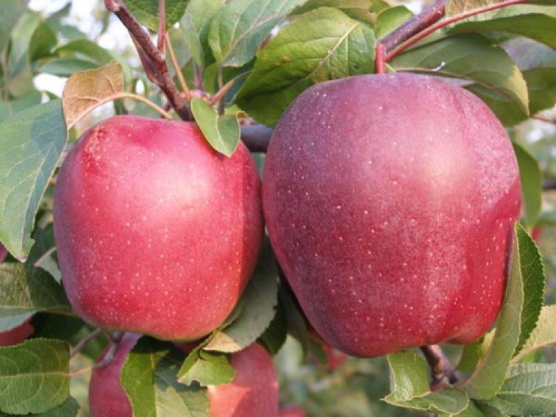 Фото 3. Продам яблоки