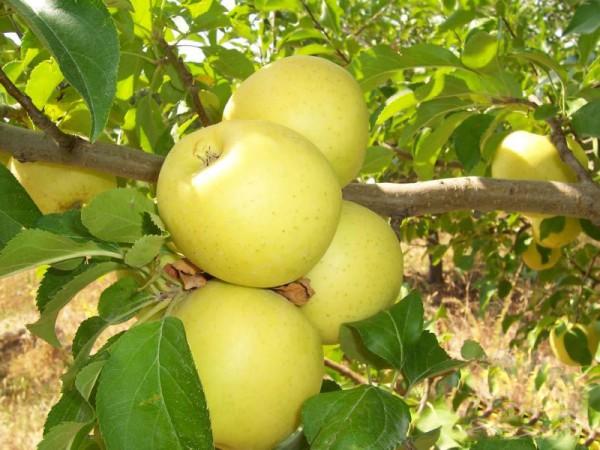 Фото 4. Продам яблоки