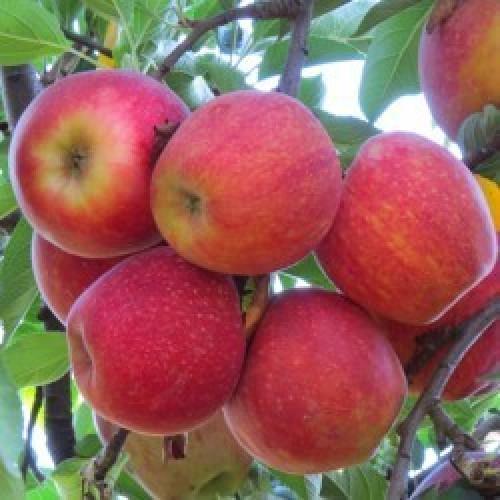 Фото 5. Продам яблоки