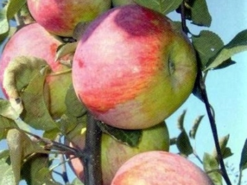 Фото 6. Продам яблоки