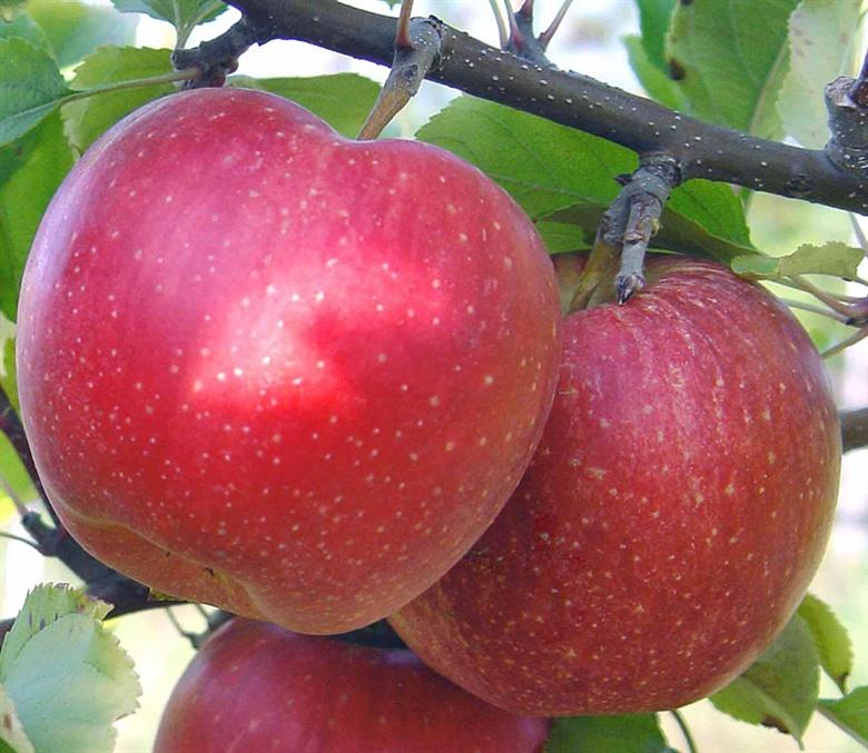 Фото 7. Продам яблоки
